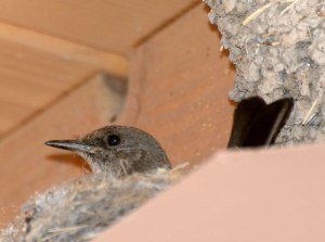 Say's Phoebe on nest - Photo by Joe Schelling