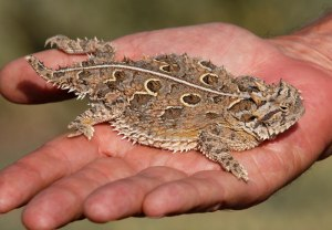Texas Horned Lizard - photo by Cathy Pasterczyk