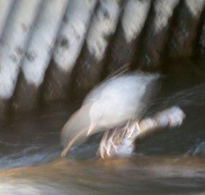 American Dipper feeding