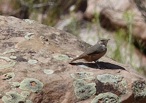 Rock Wren - photo by Debbie Weissman