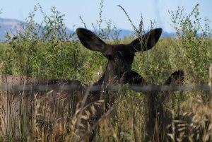 mule deer and fawn