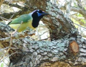 Green Jay (taken on an earlier trip)
