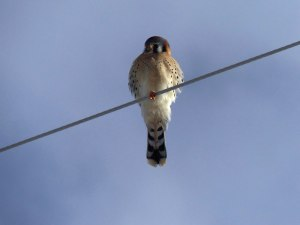 American Kestrel - photo by Debbie Weissman