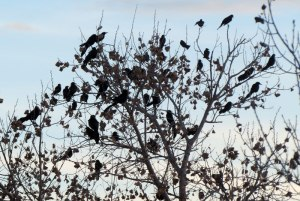 roosting Great-tailed Grackles
