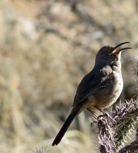 Singing male