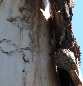 Brown Creeper building nest