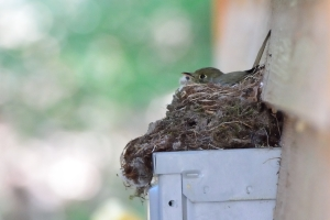 nesting Cordilleran Flycatcher - photo by Joe Schelling