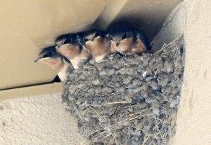 Barn Swallow chicks - Las Vegas NWR