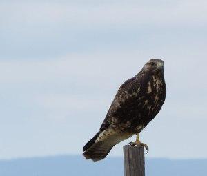 juvenile dark morph Swainson's Hawk