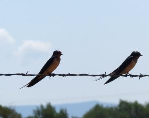 Barn Swallows - Valle de Oro NWR
