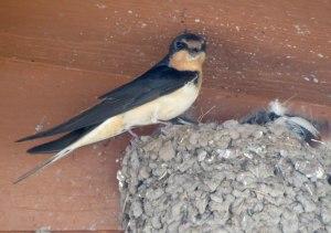 Barn Swallow female at nest - Valles Caldera
