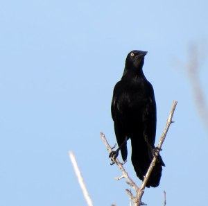 CU-Greater-Antillean-Grackl