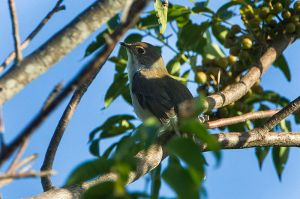 Cuban_Solitaire (wikipedia commons)