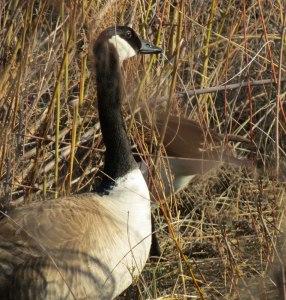 Alameda-goose-nest