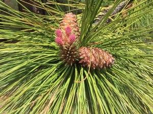 OR-Ashland-pine-blossom