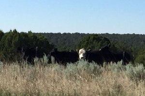 Villanueva-trip-cows