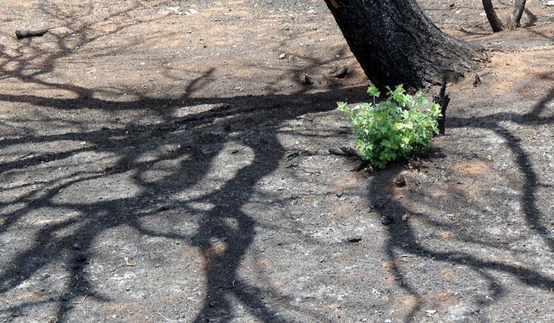 Bonnie-new-oak-growth-7-21-