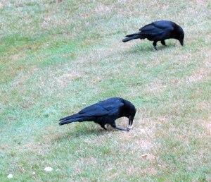 WA-Thompson-crow2