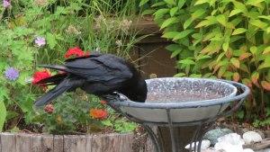 WA-Thompson-crow3
