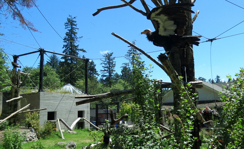 OR-Port.-Zoo-CA-Condor-play