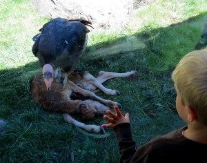 OR-Portland-Zoo-CA-Condor-e