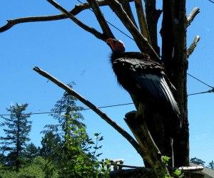 OR-Portland-Zoo-CA-Condor-p