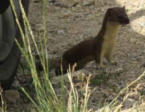valles-caldera-long-tailed