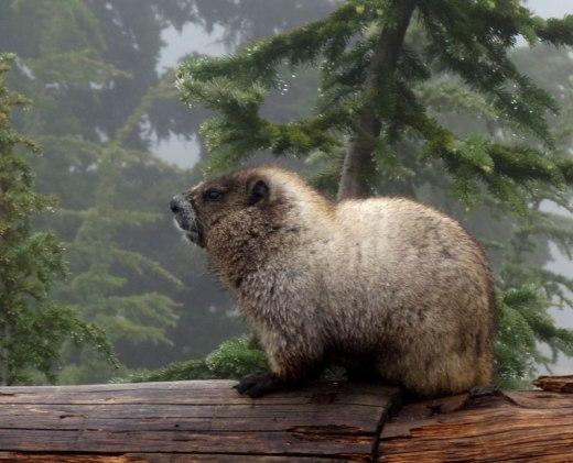 wa-mt-rainier-marmot