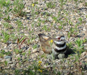 Killdeer sitting on eggs on gravel parking lot