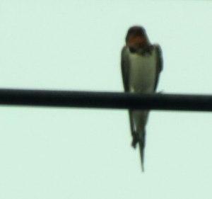 CH-Bird-BARS