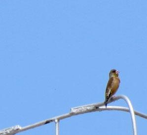CH-Bird-TW-ORGR