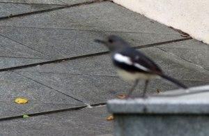 HK-Bird-CUHK-MARO