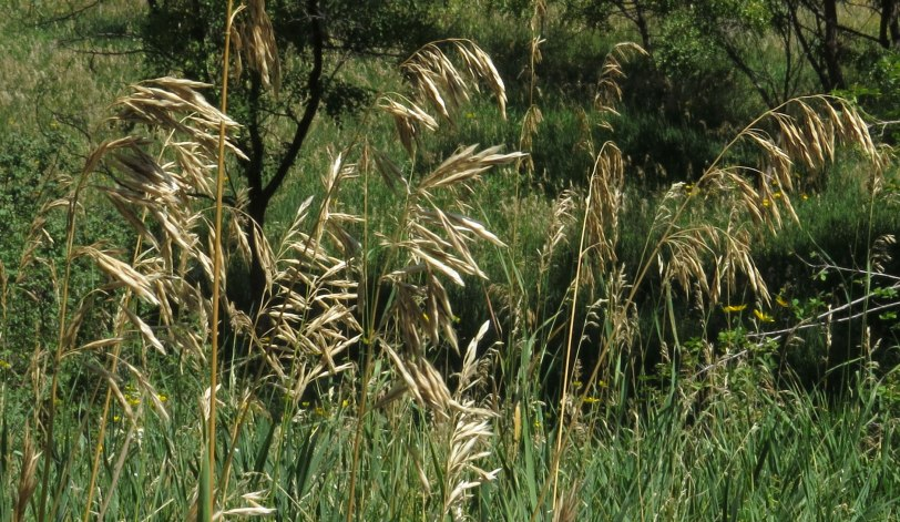 Capulin-dried-grass-9-2-17