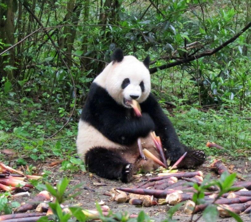 CH-Panda-Preserve-4-26-17