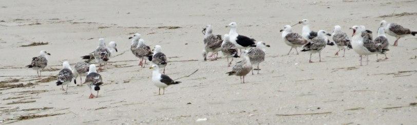 Cape-May-gulls-5-17-18
