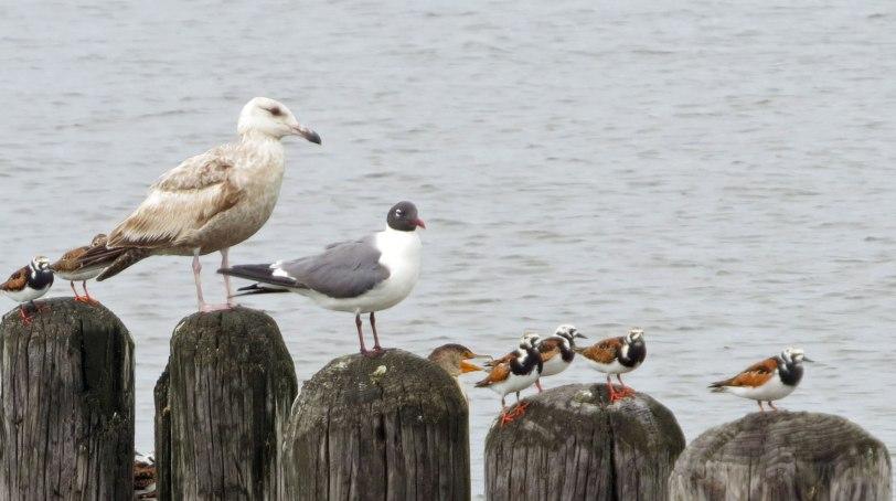 Cape-May-gulls-RUTU