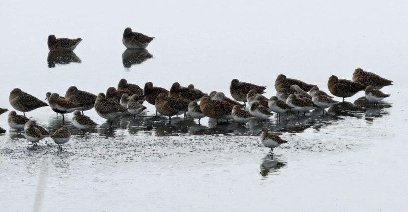 Cape-May-shorebirds-5-16-18