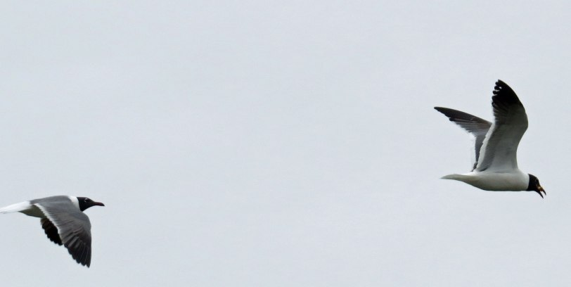 CMBO-Hawkwatch-LAGU-5-16-18