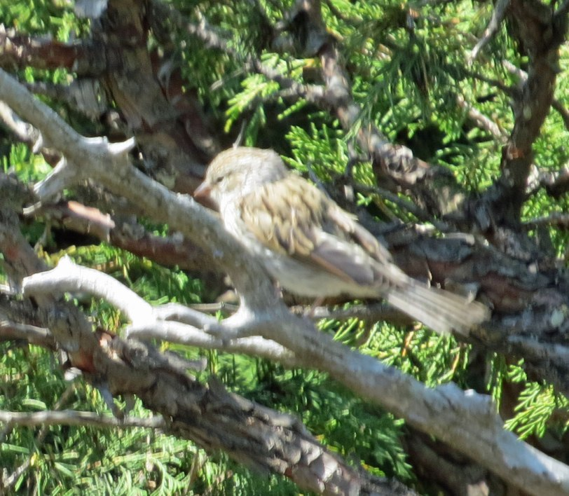 Capulin-NM-VESP-juv-6-28-18
