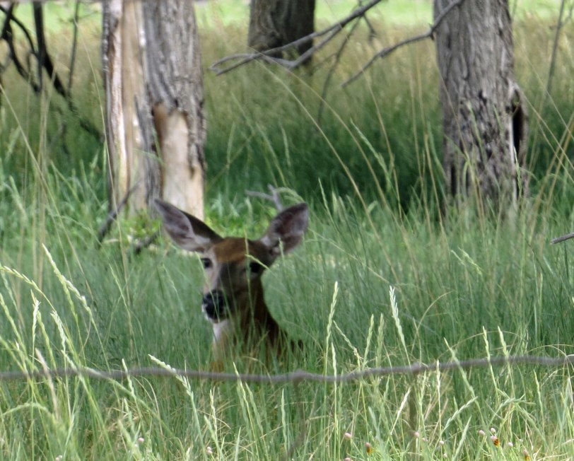 Maxwell-NWF-mule-deer-6-29-18