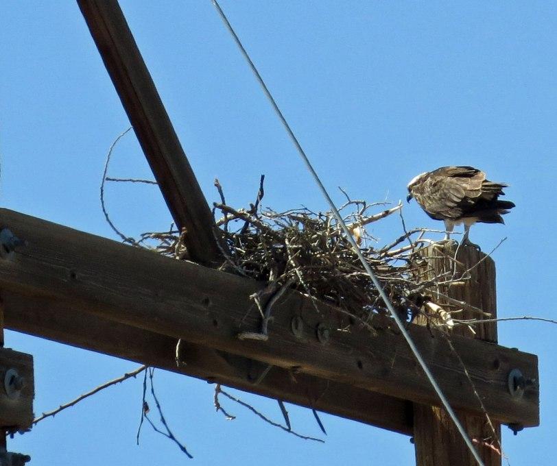 North-4th---OSPR-nest-4-3-18