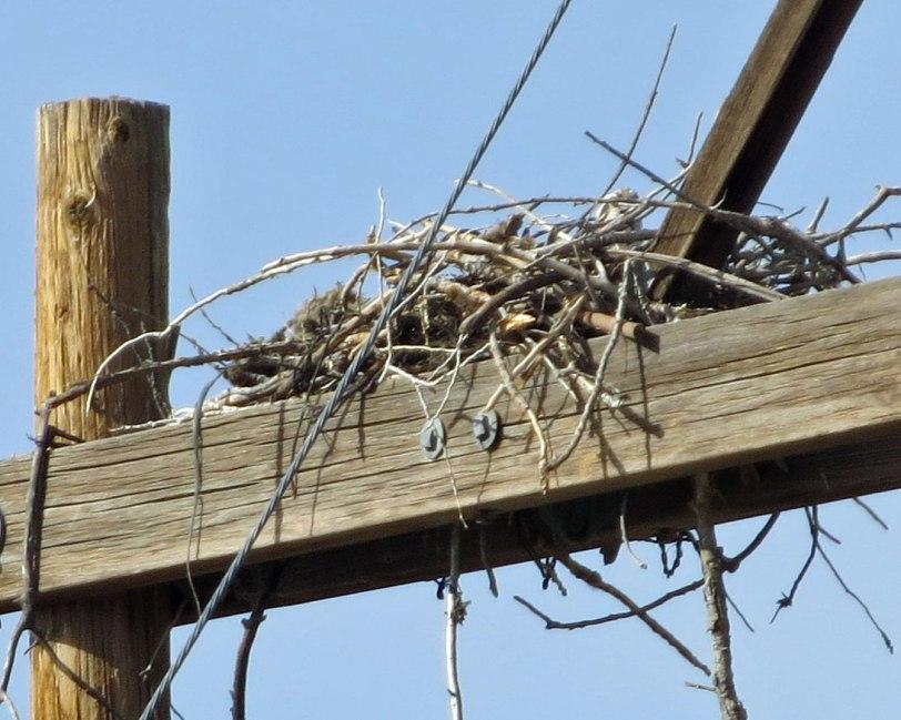Tramway-OSPR-on-nest-5-11-18