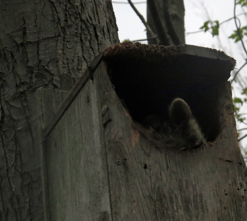OH-Maumee-boardwalk-raccoon-box-5-8-19