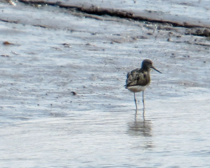 UK---Exe Estuary and Goat Walk-Common-Greenshank-8-3-19