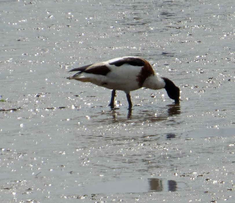 UK---Exe Estuary and Goat Walk---Common-Shelduck-8-3-19
