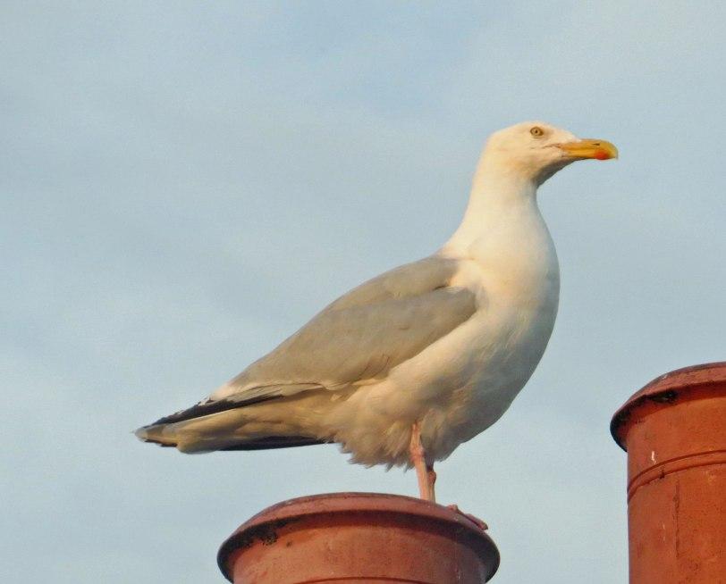 UK-Inverness-poss Iceland Gull