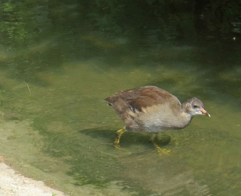 UK-Slimbridge-juv-Moorhen-7-31-19