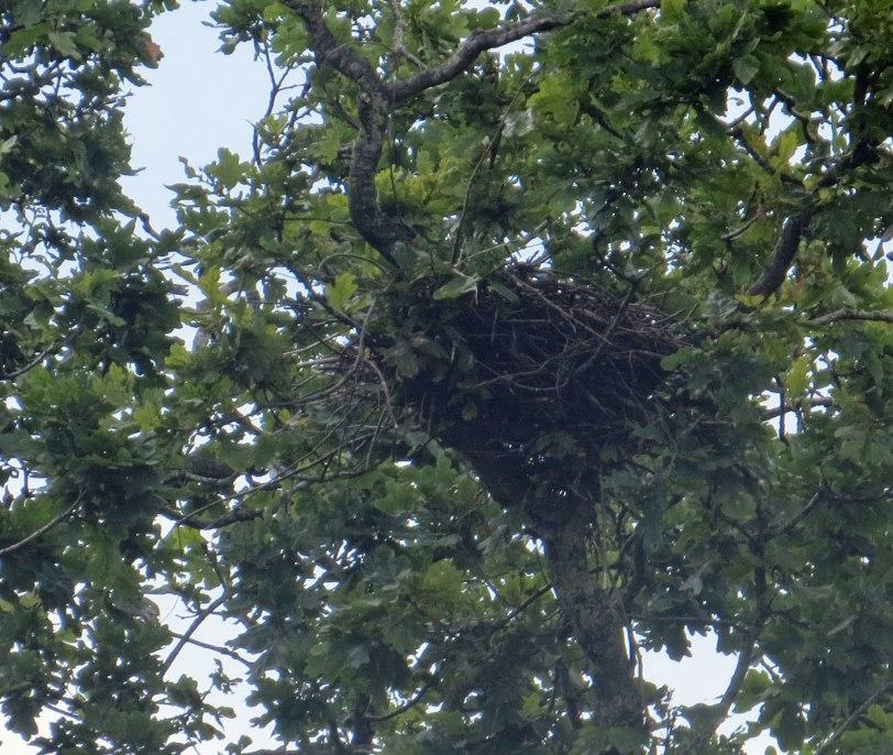 UK-Slimbridge-ROOK-nest-7-31-19