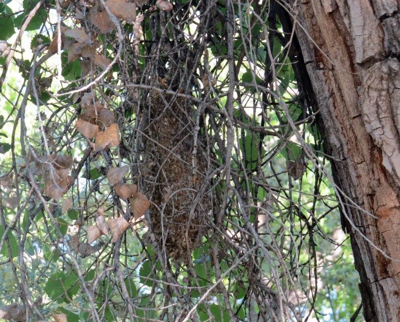RGNC-Bushtit-nest-5-15-19