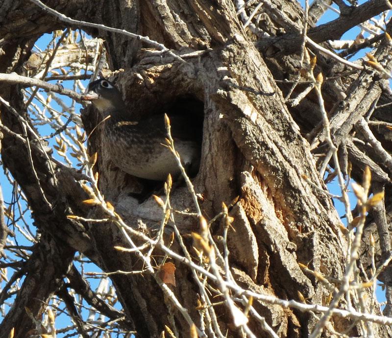 RGNC-WODU-nesting-hole